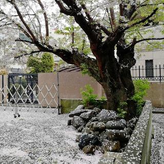snowy cherry
